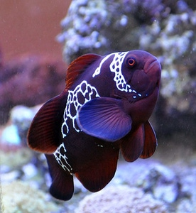 Probably the most famous SEASMART PNG animal, the Lightning Maroon clownfish.